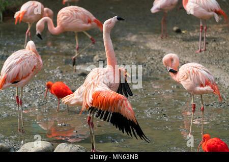 Chilean flamingo Phoenicopterus chilensis bird spreading wings - Stock Photo