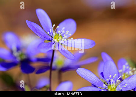 Blue flowers of Hepatica nobilis or Anemone hepatica seen close up in the spring. - Stock Photo
