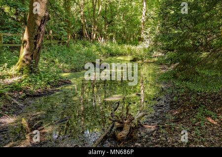 A stagnant pond in a woodland clearing. A part of a dead tree is in the foreground and dappled sunlight plays in the undergrowth. - Stock Photo
