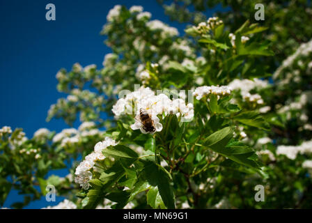 Flowers blooming hawthorn in garden, Crataegus monogyna. Common names: single-seeded hawthorn, thornapple, May-tree, whitethorn, mayblossom, maythorn, - Stock Photo