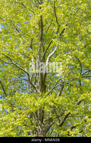 beech tree in spring - Stock Photo