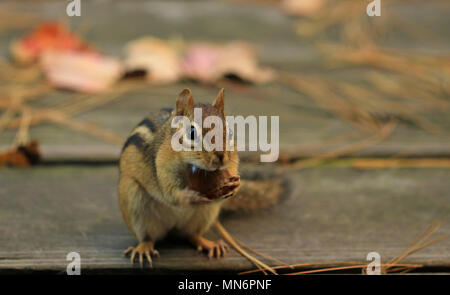 Close-up of Eastern chipmunk (Tamias striatus) attempting to stuff its cheeks with an acorn - Stock Photo