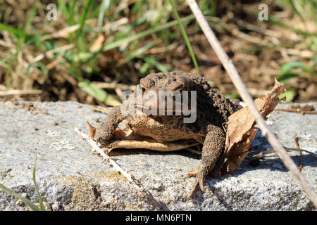 Close-up of a juvenile Fowler's toad (Anaxyrus fowleri) lounging on a garden stone beside leaf litter in spring - Stock Photo