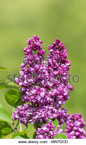 Purple flowering Common Lilac plant (Syringa vulgaris) in late Spring with green background in West Sussex, England, UK. - Stock Photo