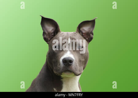 portrait of a young American dog staffordshire terrier blue  with a lively touching look - Stock Photo