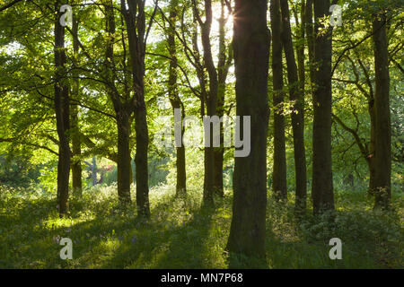Barton-upon-Humber, North Lincolnshire, UK. 14th May, 2018. UK Weather: Late evening light on Cow Parsley and Beech Trees in Baysgarth Park in Spring. Barton-upon-Humber, North Lincolnshire, UK. 14th May 2018. Credit: LEE BEEL/Alamy Live News - Stock Photo
