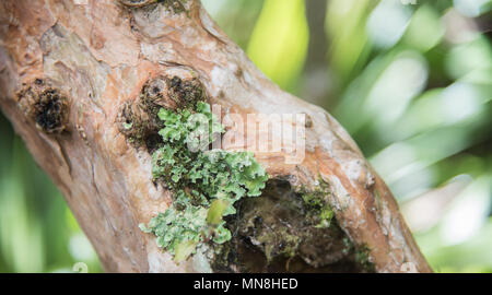 Closeup of plant growth on tree trunk in the remote Mt. Cargill forest in Dunedin, New Zealand - Stock Photo