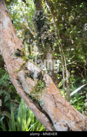 Tree trunk with summer growth in Mt. Cargill in Dunedin, New Zealand - Stock Photo