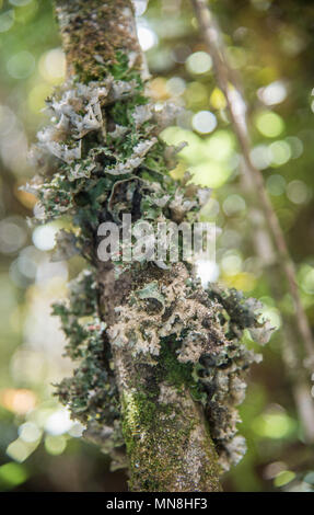 Closeup of natural lichen growing on trees in the Mt. Cargill forest in Dunedin, New Zealand - Stock Photo