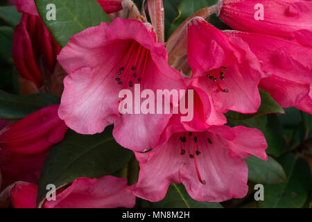 Rhododendron 'Winsome' (Humming Bird x griersonianum), flowers - Stock Photo