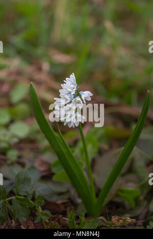 Striped squill or puschkinia libanotica or puschkinia scilloides blue striped flowers with green - Stock Photo