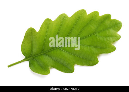 Fresh Oak leaf isolated on white background - Stock Photo