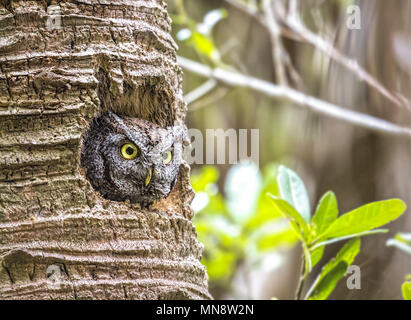 A very well- camouflaged little Eastern Screech Owl ( Megascops asio ) peering out  from its nest in a palm tree in tropical, southern Floridash, USA. - Stock Photo
