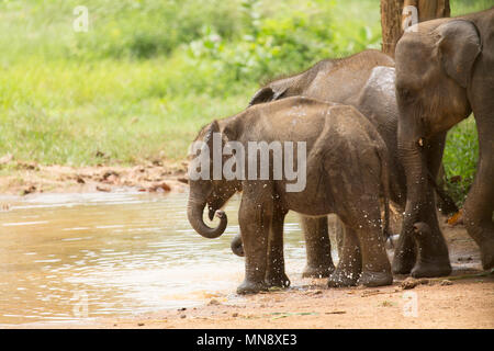 An elephant splashes water by a pool at the Udawalawe Elephant Transit Home at Uwawalawe National Park in Sri Lanka. Wild elephants are fed at the fac - Stock Photo