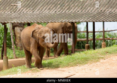 Elephants at the Udwawalawe Elephant Transit Home at Uwawalawe National Park in Sri Lanka. - Stock Photo