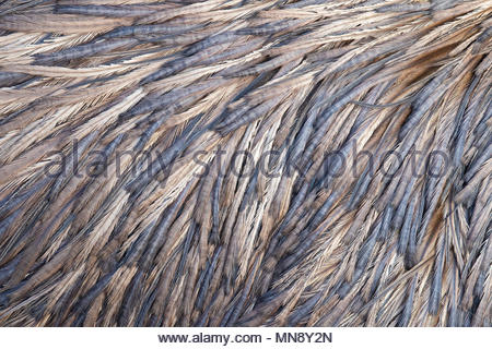 A close look at the back of a captive emu (Dromaius novaehollandiae) reveals a range of blue, violet and golden colors in the patterns of its feathers - Stock Photo