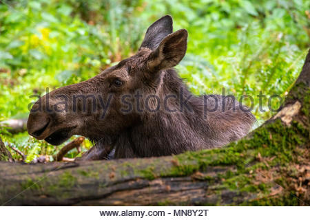 A female moose (Alces alces) rests in a forested area of a wildlife sanctuary in Washington state. Moose are known as elk in Eurasia, and are the larg - Stock Photo