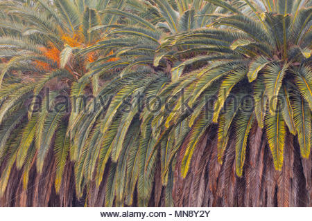 The range of green and brown colors in palm fronds are visible in this tight cluster of trees near the Malibu Lagoon in Malibu, California. - Stock Photo