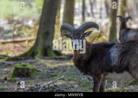 European Mouflon, photo taken at Hochwildschutzpark Hunrück. Editorial use only. - Stock Photo