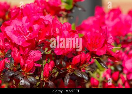 Colourful Azalea bushes in the afternoon sunshine. Northampton, U.K. - Stock Photo