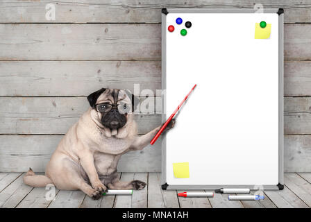 serious pug puppy dog sitting down, pointing at blank white board with yellow notes and magnets, on wooden floor and background - Stock Photo