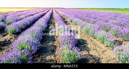 Rows of blooming lavender in a field in Bulgaria - Stock Photo