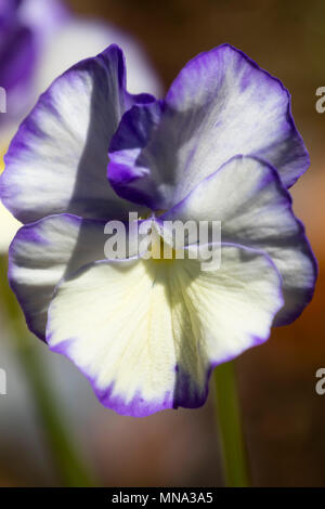 Purple splashed cream flower of the compact perennial Violetta, Viola 'Rebecca' - Stock Photo