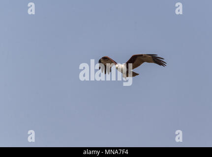 A brahminy kite in flight with fish just caught - Stock Photo