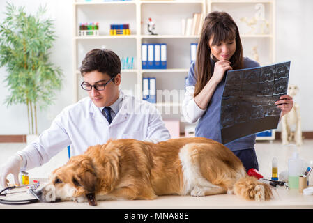 Doctor and assistant checking up golden retriever dog in vet clinic - Stock Photo