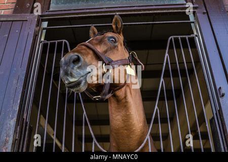 Head shot of brown horselooking over the stable door - Stock Photo