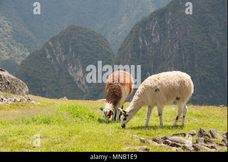 Two llamas grazing on the  amazing landscape of Machu Picchu in Peru - Stock Photo