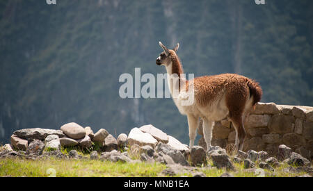 A llama stands on the edge of the mountain and gazes across the landscape of Machu Picchu in Peru - Stock Photo