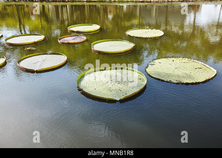 A group of big green lotus leaves in the pond with sun light reflection on the tranquil water - Stock Photo