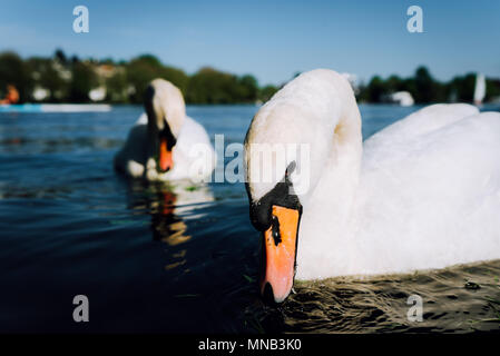 Couple of cute white grace swan on the Alster lake on a sunny day in Hamburg - Stock Photo