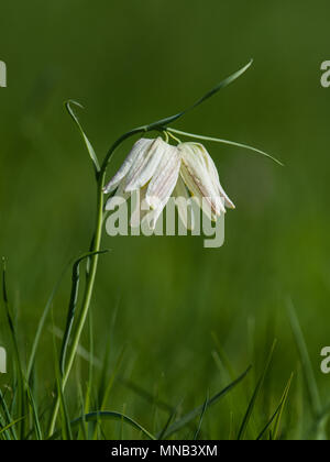 The beautiful fritillary named Snake's Head with two white  chequered flower with a calm green background. Uppland, Sweden - Stock Photo