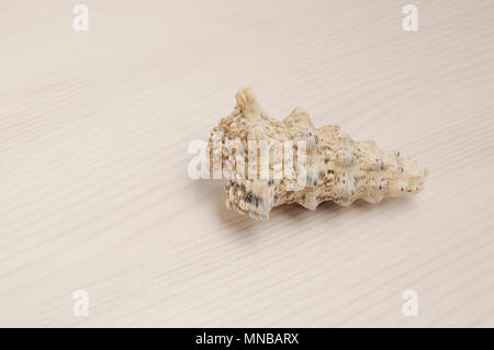 Seashell closeup on white wooden background with copy space - Stock Photo