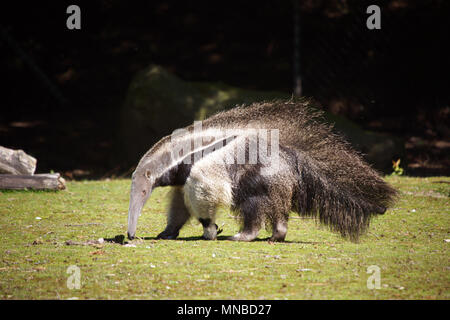 Giant Anteater - Stock Photo