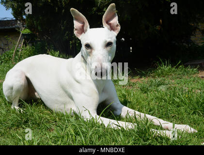 White Whippet dog on a lawn. - Stock Photo