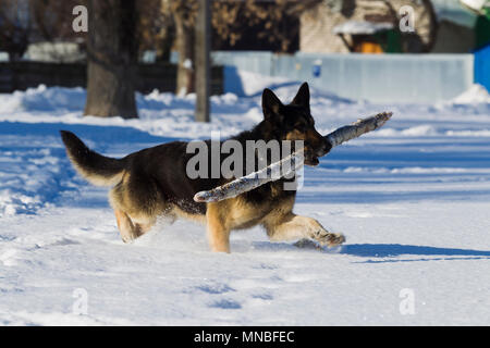 Alsatian dog on snow background winter day, sunlight - Stock Photo