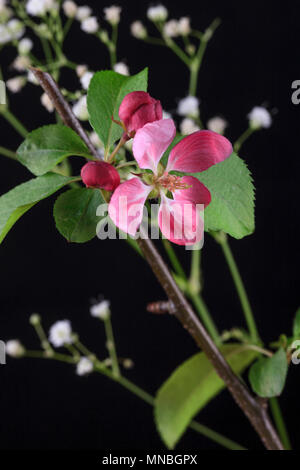 An isolated photo of the blossom from a crab apple tree. - Stock Photo