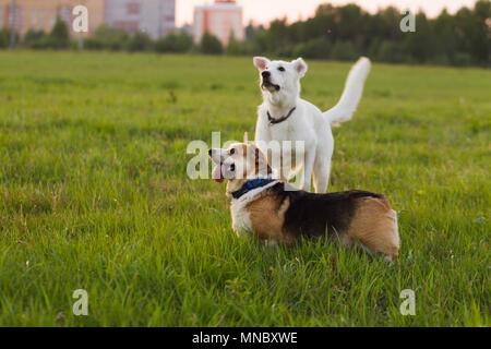 Welsh Corgi and Swiss shepherd dog on a background of green grass, evening natural light - Stock Photo