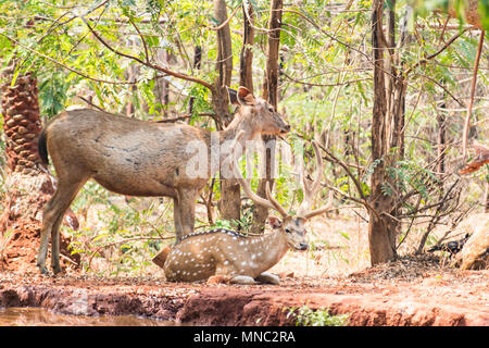 A couple of deer sambar at zoo resting under tree near a very small water reservoir. - Stock Photo