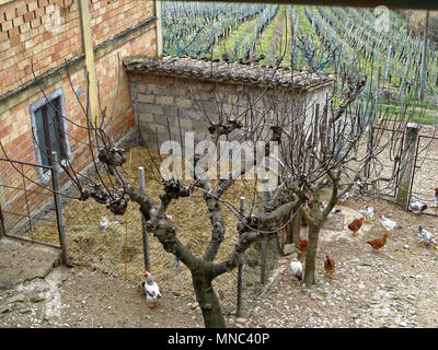 Few hens and rooster in yard of a village house on paddock. The view of the vineyards. Italy. - Stock Photo