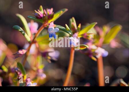 Maiden Blue Eyed Mary - Stock Photo