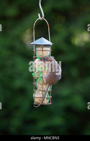Rattus norvegicus. Brown rat feeding on a fat ball feeder put out for the birds in an english garden. UK - Stock Photo