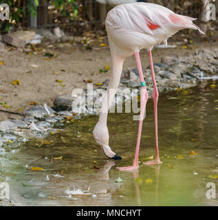 Pink flamingo standing in a pond and drinking water - Stock Photo