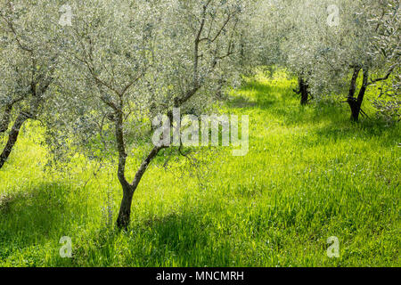 Olive trees on a lush meadow illuminated by spring sunshine near Florence, Tuscany, Italy - Stock Photo
