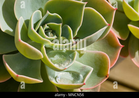A succulent plant growing in a pot on a table outside  in Spring in England, UK - Stock Photo