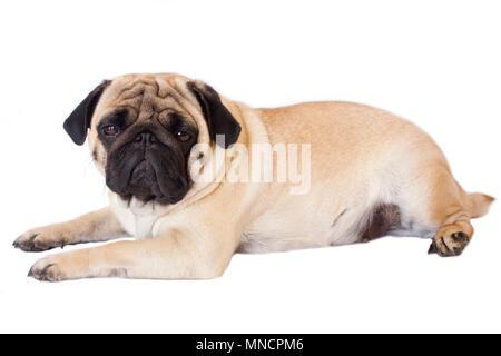 Pug dog isolated. Looking sad with the big eyes - Stock Photo