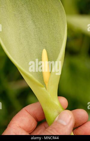 Italian lords and ladies flower. Arum italicum marmoratum - Stock Photo